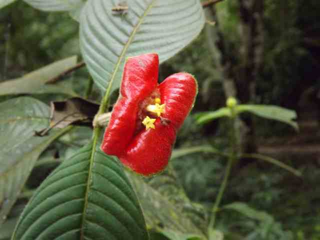 Psychotria poeppigiana DSCF1303